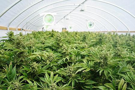 culture cbd greenhouse